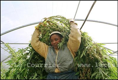 Charrat le 21.09.2001.Récolte et transport de chanvre chez Bernard Rappaz. .Le chanvre thérapeutique est produit dans des serres..© J.-P. Di Silvestro / Le Courrier