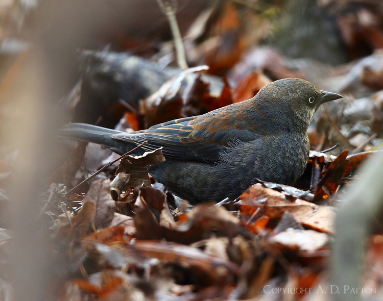 Female rusty blackbird