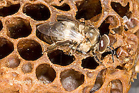 1B17-519z   Honeybee drone emerging from pupal case, Apis mellifera