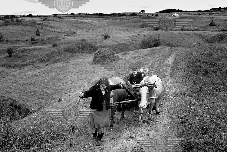 A woman leads two bulls pulling a cart, carrying grain, on their way back from working in the fields, Bistrita.