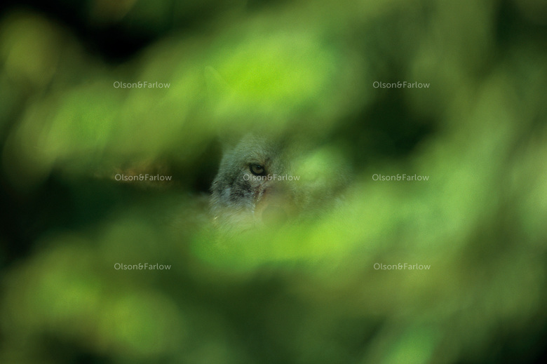 A coyote peers warily through leafy cover near Hurricane Ridge in Olympic National Park. Over 95% of the park's 922,000 acres is designated wilderness. Olympic is also known for its biological diversity. <br /> Isolated for eons by glacial ice, and later the waters of Puget Sound and the Strait of Juan de Fuca, the Olympic Peninsula has developed its own distinct array of plants and animals. Eight kinds of plants and 15 kinds of animals are found on the peninsula but no where else on Earth.