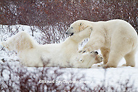 01874-12511 Two Polar bears (Ursus maritimus) sparring, Churchill Wildlife Management Area, Churchill, MB Canada
