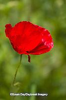 63821-22910 Red Poppy (Papaver rhoeas 'Legion of Honor'), Cantigny Park, Wheaton, IL