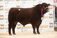 English Premier Show & Sale March 2019 <br /> Newark Livestock Market. Lincoln Red Show & Sale<br /> Lot 81 St Fort Wuthering Heights owned by A Mylius and Partners of St Fort sold for 5300gns<br /> ©Tim Scrivener Photographer 07850 303986<br />      ....Covering Agriculture In The UK....