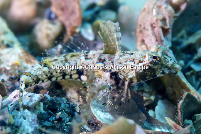 Paradiplogrammus bairdi, Lancer dragonet, Blue Heron Bridge, Florida