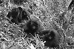 mountain gorilla females and juveniles in Rwanda