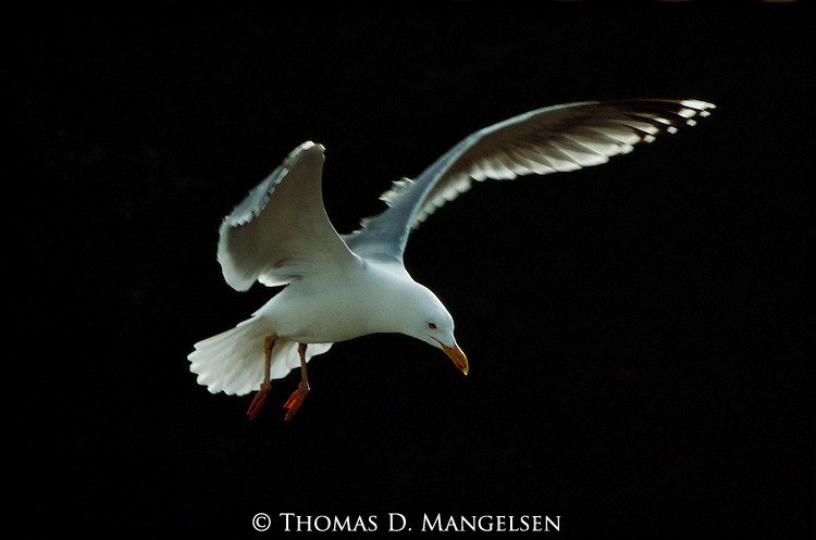 Portrait of a herring gull in flight.