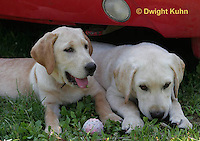 SH39-544z 3 Month old Labs, Labrador Retriever
