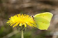Zitronenfalter, Zitronen-Falter, Gonepteryx rhamni, Blütenbesuch auf Löwenzahn, Bestäubung, Nektarsuche, saugt Nektar mit langem Saugrüssel, brimstone, brimstone butterfly