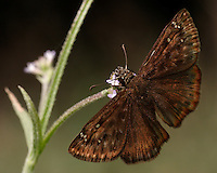 The Zarucco Duskywing belongs to the Spread-wing Skippers subfamily (Pyrginae).
