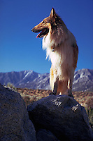 Portrait of collie standing on rock in the Sierra Mountains, Colorado