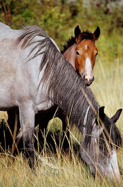 Wild Horses--mare with colt.  Western U.S., summer..(Equus caballus)