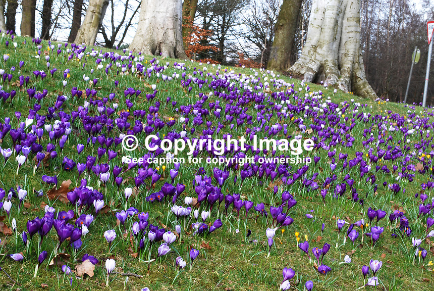 A bank of crocuses in Barnett's Demesne, Malone, Belfast, N Ireland, UK, is a welcome harbinger of spring. 25 February 2009. 200902251837.<br />