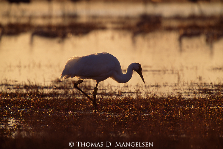 Whooping crane walking through water in Bosque del Apache National Wildlife Refuge, New Mexico