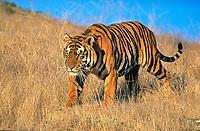 Bengal tiger, royal Bengal tiger, Panthera tigris tigris, adult, walking, endangered species, Bandhavgarh National Park, Madhya Pradesh, India