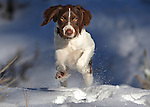Nellie, the Brittany, plays on the Fay Luther trail near Gardnerville, Nev., on Friday, Jan. 6, 2011.<br /> Photo by Cathleen Allison