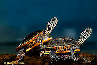 1R13-097z  Painted Turtle - young in pond sunning themselves  - Chrysemys picta