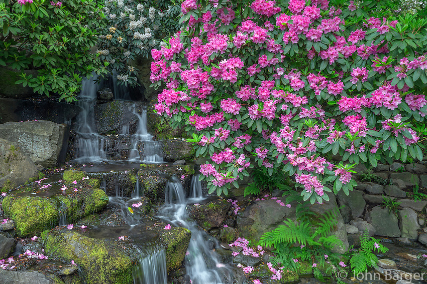 ORPTC_D126 - USA, Oregon, Portland, Crystal Springs Rhododendron Garden, Rhododendron blooms alongside waterfall and ferns.