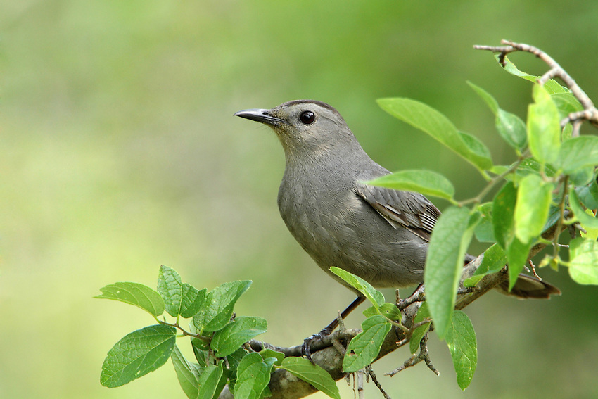 Gray Catbirds are relatives of mockingbirds and thrashers, and they share that group's vocal abilities.