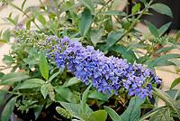 Buddleja 'Buzz Sky Blue' aka Buddleia butterfly bush