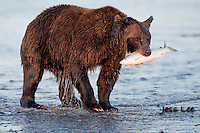 A photo of a coastal brown bear with a salmon in its mouth. Grizzly Bear or brown bear alaska Alaska Brown bears also known as Costal Grizzlies or grizzly bears