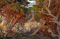 Trees, Point Lobos