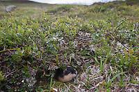 Berglemming, Berg-Lemming, Lemming, in seinem Lebensraum der arktischen Tundra, Lemmus lemmus, Norway lemming, Norwegian lemming