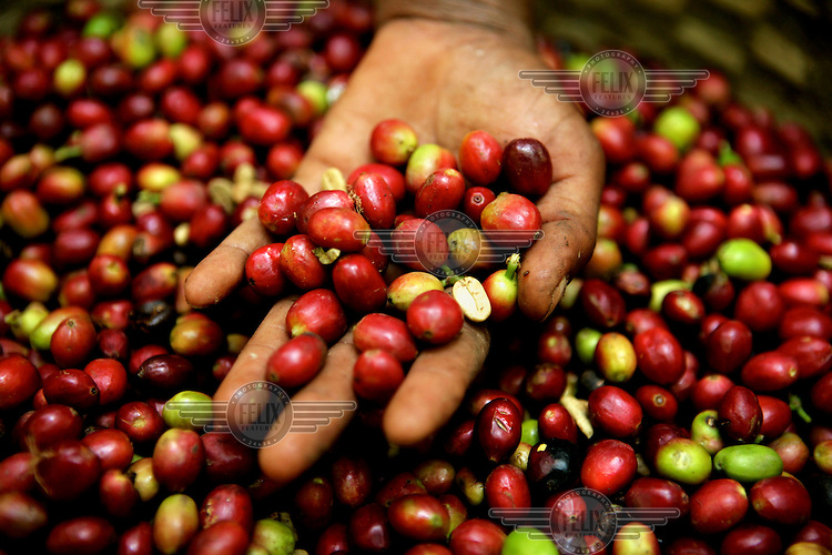Coffee beans collected from a wild plantation.