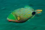 Orange-Lined Triggerfish (Balistapus undulatus) photographed on the Liberty wreck in Tulamben, Bali, Indonesia.