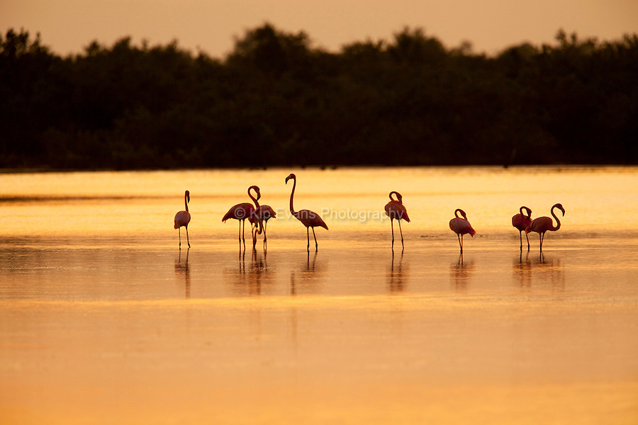 A flock of flamingoes (Phoenicopterus ruber) feed in waters near Cuba at sunset.