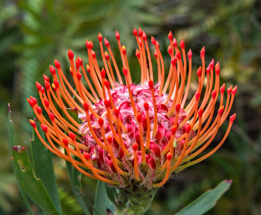 Pincushion protea seen at the Kula Botanical Garden on Maui