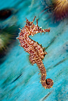 Lined seahorses (Hippocampus erectus) on the move, Riviera Beach, Florida, USA, Atlantic Ocean