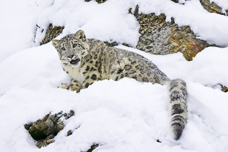 Snow Leopard snarling on a snowy, rocky hill - CA