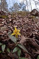 Yellow Dogtooth Violet, or Yellow Trout Lily growing wild in the Ozark National Forest in Arkansas.