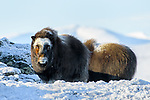 Norway Musk Ox
