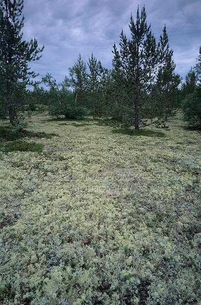 Moss covered forest floor, Urho Kekkonen National Park, Finland, July 2001