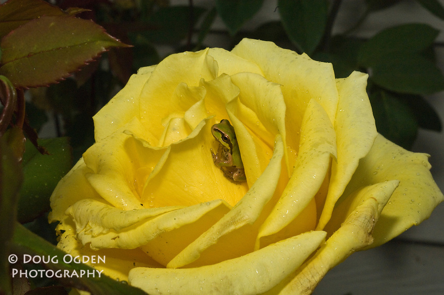 Tree frog hiding in a yellow Rose