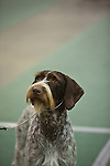 German Wirehaired Pointer<br />