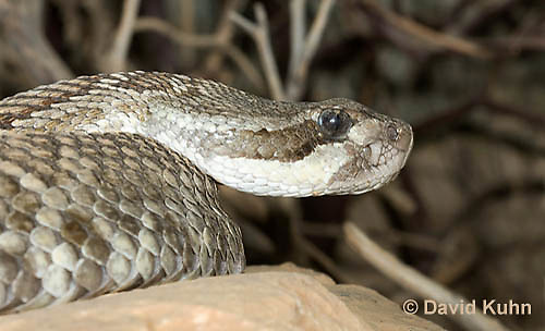 0419-1005  Southern Pacific Rattlesnake (Black Diamond Rattlesnake, Pacific Rattler), Southwest California, Crotalus oreganus helleri (syn. Crotalus viridis helleri)  © David Kuhn/Dwight Kuhn Photography.