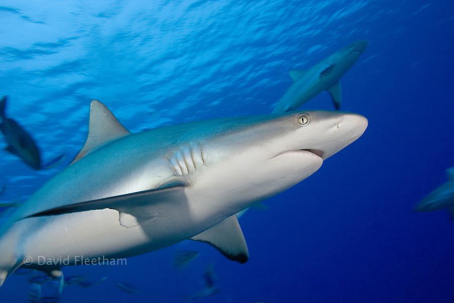 Grey reef sharks, Carcharhinus amblyrhynchos, off the island of Yap, Micronesia.