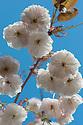 Prunus 'Shirofugen' in blossom, late April.