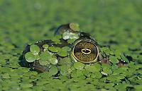 Bullfrog, Rana catesbeiana, adult in duckweed camouflaged, Welder Wildlife Refuge, Sinton, Texas, USA, May 2005