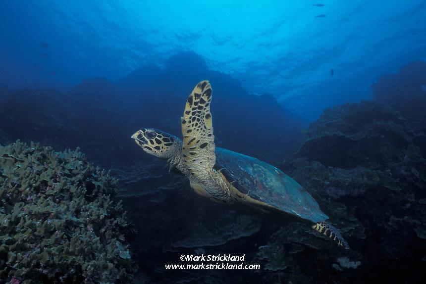 A Hawksbill Turtle, Eretmochelys imbricata, cruises over a shallow reef. Surin Islands Marine National Park, Thailand, Andaman Sea