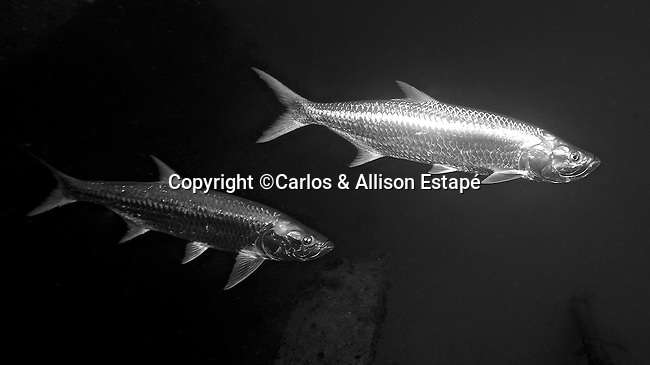 Megalops atlanticus, Atlantic tarpon, Florida Keys