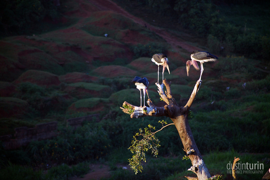 Marabou stork, a common sight in Kenya, sitting in a tree in Kisii, Kenya.