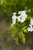Hawthorn, Crataegus monogyna, flowers, Skippers, Queenstown Lakes District, Otago, South Island, New Zealand.