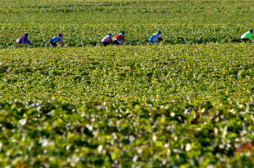 vineyard cyclists beaune cote de beaune burgundy france