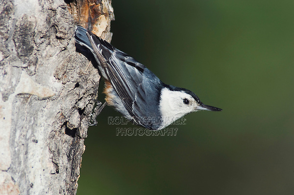 White-breasted Nuthatch, Sitta carolinensis,adult male on aspen tree, Rocky Mountain National Park, Colorado, USA