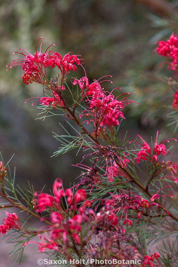 Grevillea 'Bonfire', red flowering shrub; Australian Native Plant Nursery, Ventura, California