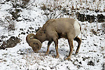 Big horn sheep; ovis canadensis.  In the Canadian Rockies